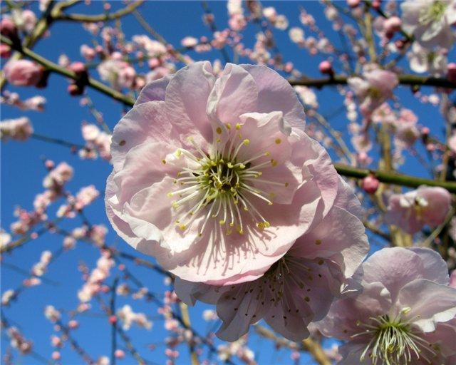 Цветение сливы Волжская красавица