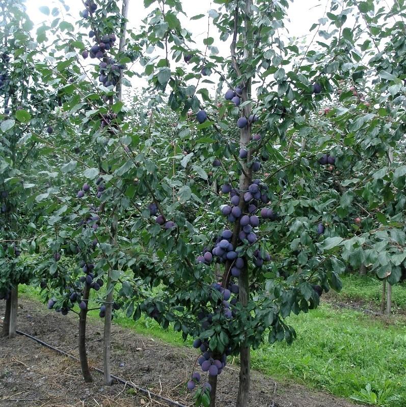 Дерево сливы Тульская чёрная