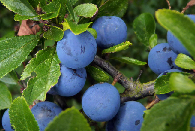 Плоды сливы Волжская красавица
