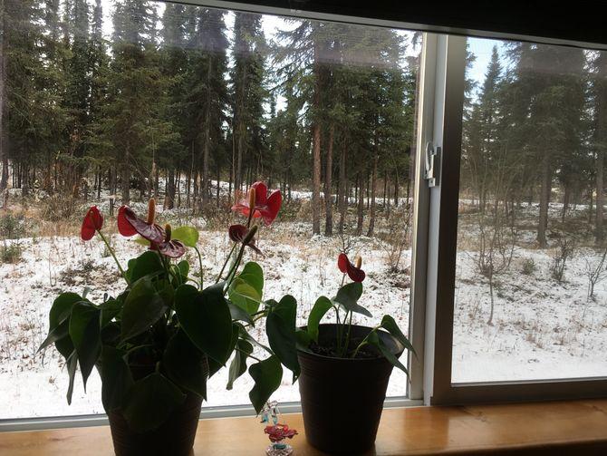 Антуриумы на окне
