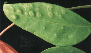 Растительная оспа