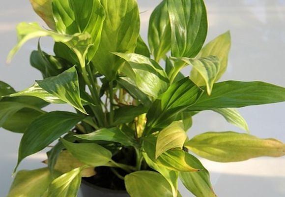 Пожелтение листьев спатифиллума