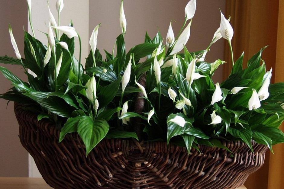 Все о цветке женское счастье уход в домашних условиях фото
