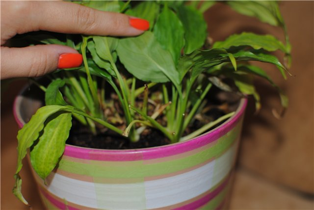 Замедленный рост и хлоротический окрас листьев