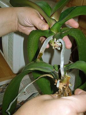 Размножение орхидеи верхушечным черенком