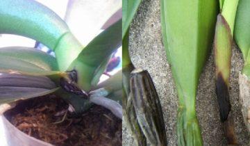 Чёрная гниль орхидей