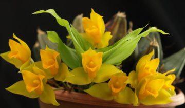 Орхидея Ликаста душистая Золотая