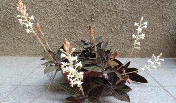 Орхидея Луидзия