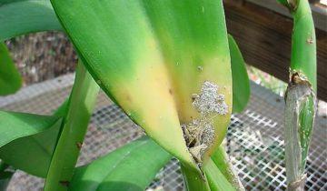 Мучнистая роса на листьях орхидеи