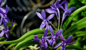 Орхидея Дарвинара