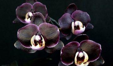 Орхидея Фаленопсис чёрная
