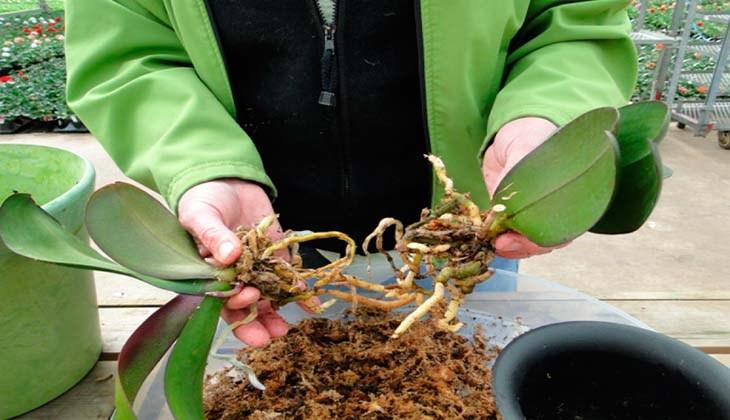 Размножение орхидеи делением куста