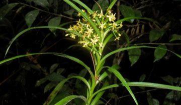 Орхидея подсемейства апостасиевых
