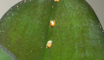 Щитовка на листе орхидеи