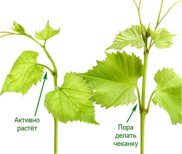 Чеканка винограда