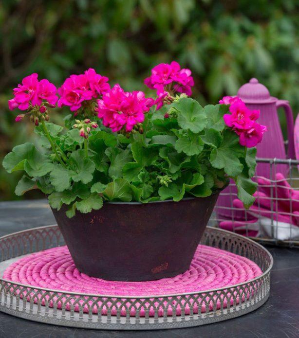 Пеларгония на столике в саду