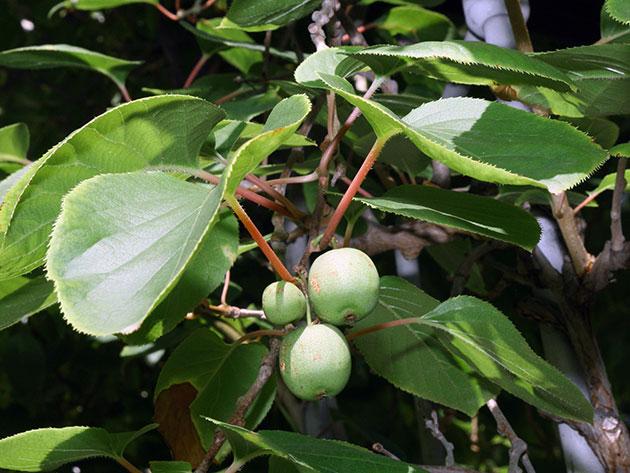 Начало плодоношения актинидии