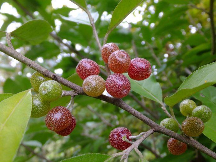 Незрелые ягоды шефердии