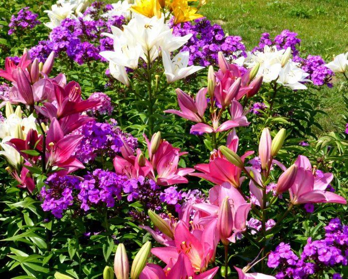 Флоксы с лилиями розовых оттенков
