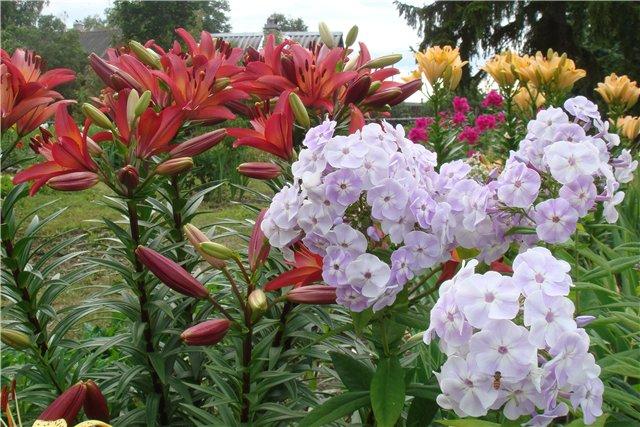 Красные лилии и белые флоксы