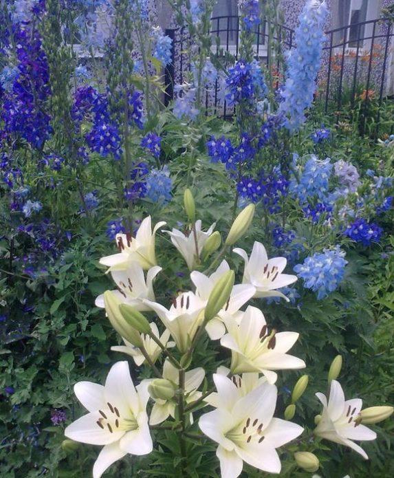 Белые лилии и синий дельфиниум