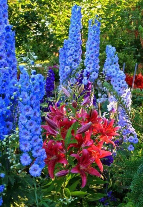 Яркая лилия и голубой дельфиниум