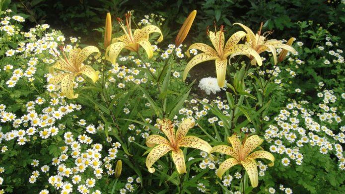 Лилии с ромашками
