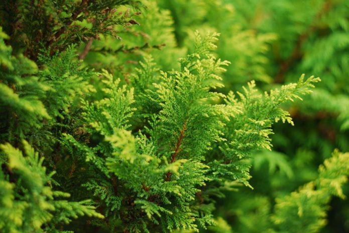 Кипарисовик вечнозелёный