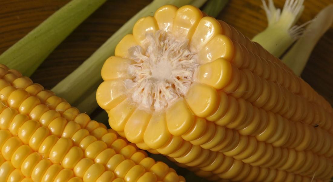 Сахарная кукуруза, Современная технология выращивания сахарной кукурузы, выращивание сахарной кукурузы