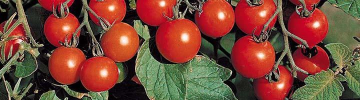Вырастить томат на подоконнике зимой