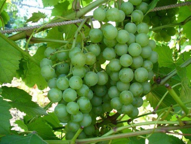 сильнее виноград алтай описание сорта фото вам
