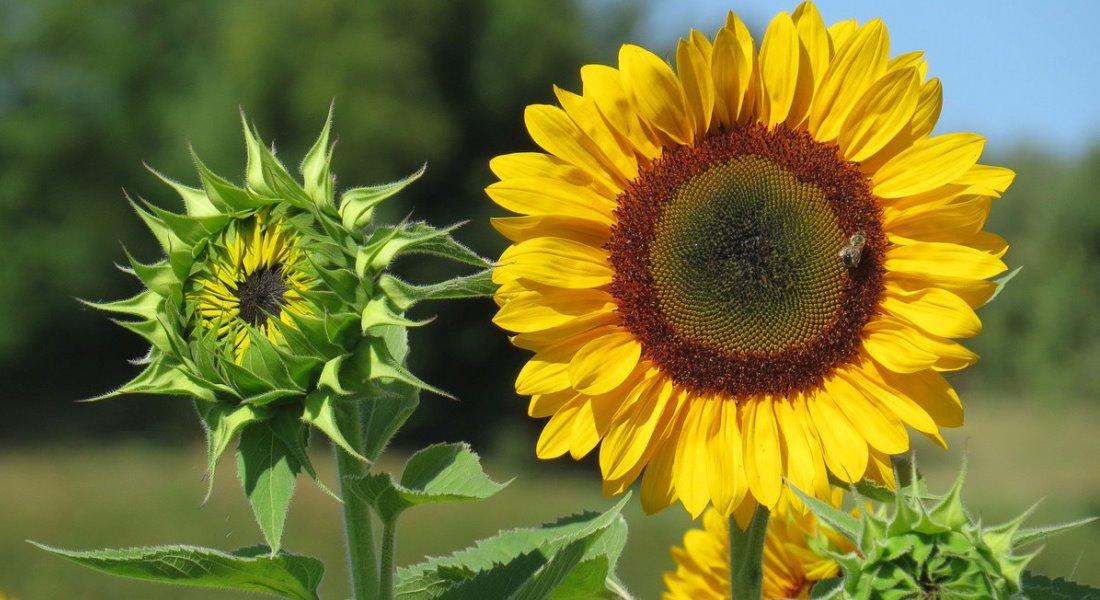 Семена подсолнечника — выбираем сорт с наибольшей урожайностью и масленичностью