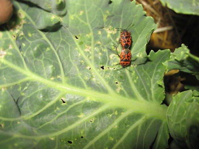 лётного вредители капусты и борьба с ними фото тамаго-яки