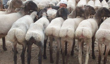 Гиссары – курдючные овцы, wikimedia.org