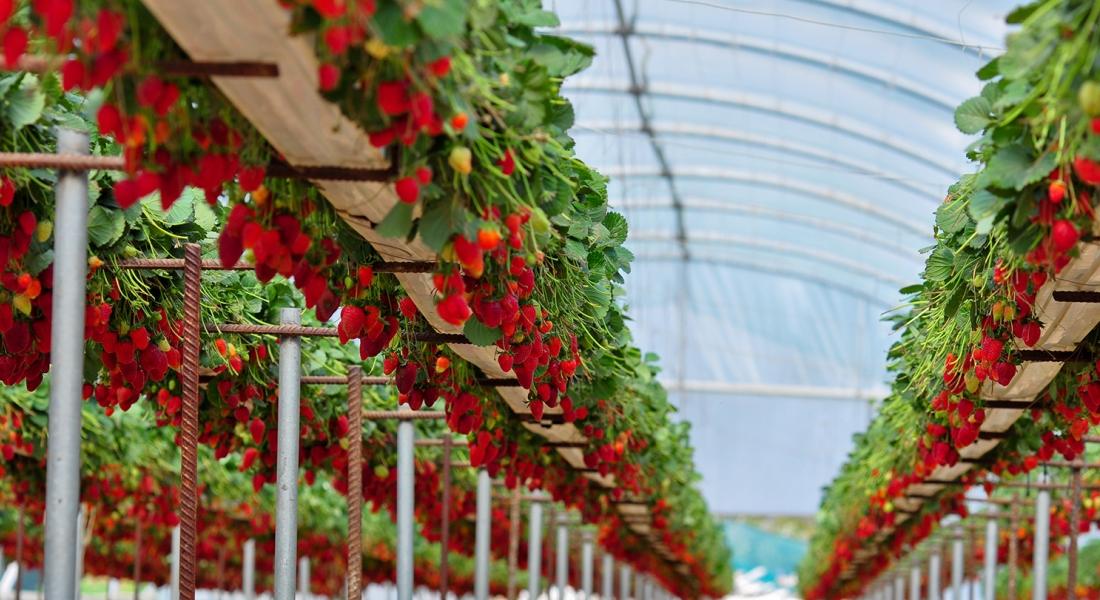 Сколько растет клубника в теплице