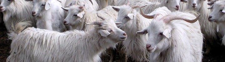 Уход за козами в стойловый период
