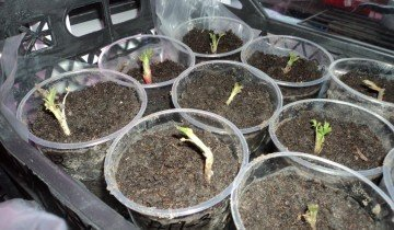Выращиваем малину семенами, vinograd.info