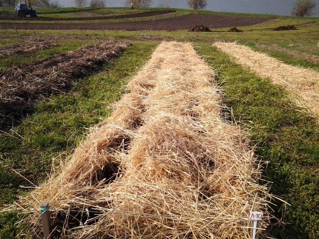 Способ посадки картофеля под солому: высокие урожаи при минимуме усилий