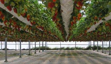Голландская технология высадки клубники, scoutnetworkblog.com