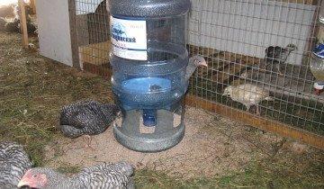 Как выращивать домашних куриц?