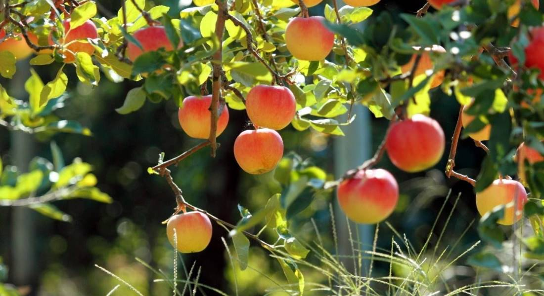 Как правильно посадить яблоню осенью и весной