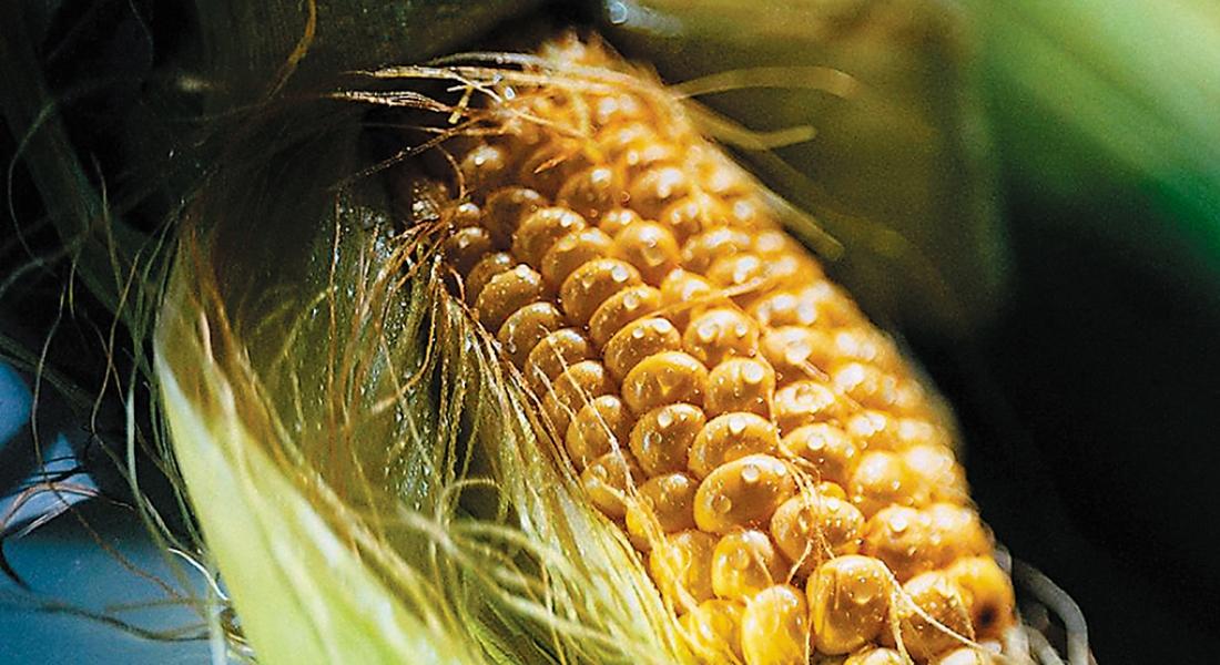 Урожайность кукурузы: сколько можно собрать с 1 га