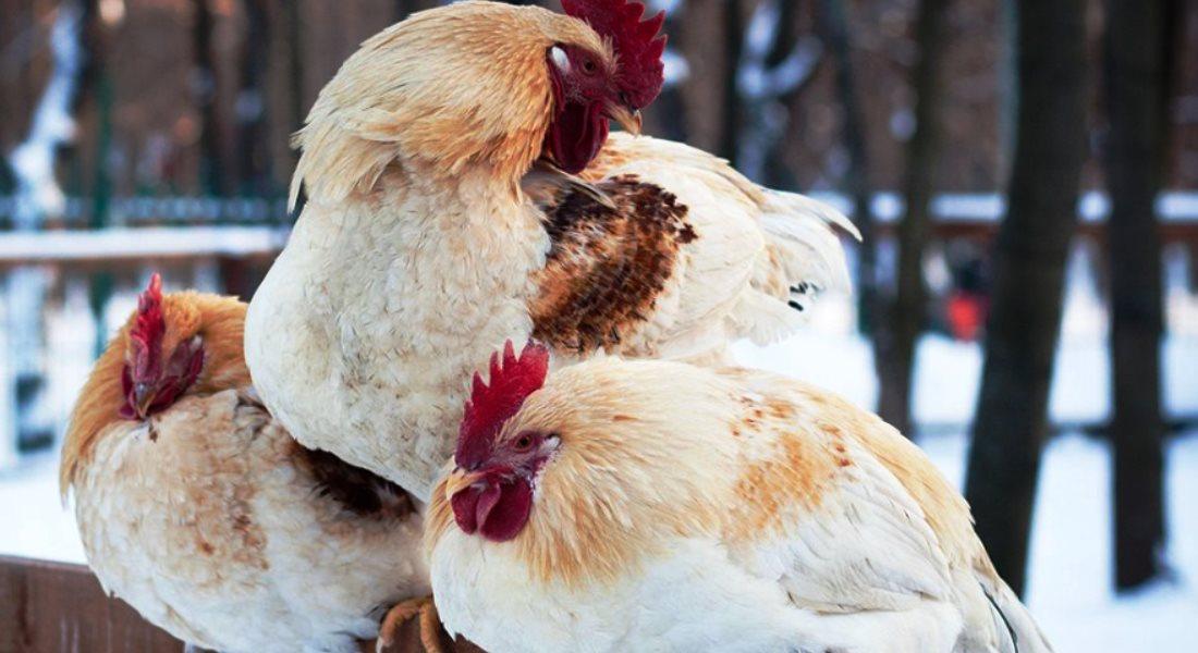 комфортная температура для кур зимой