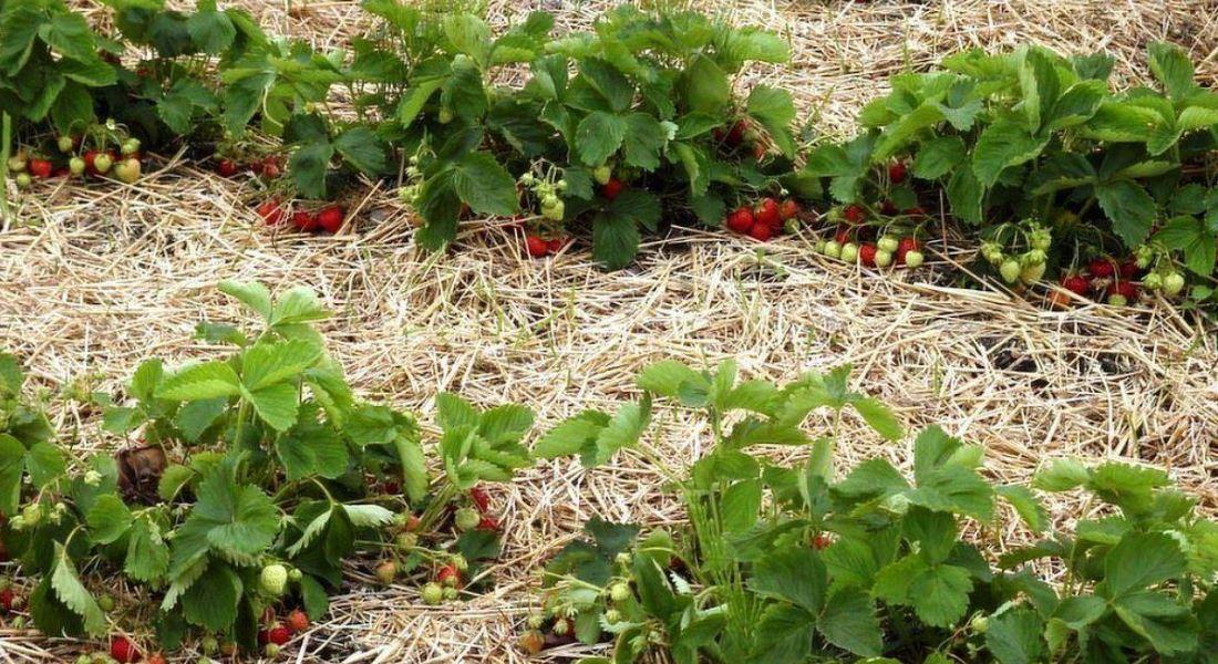Мульчирование земляники. Мульчирование клубники как залог раннего урожая