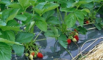 Агроволокно для клубники, fruit.fm