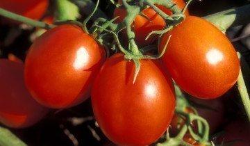 Правильный сбор семян томатов