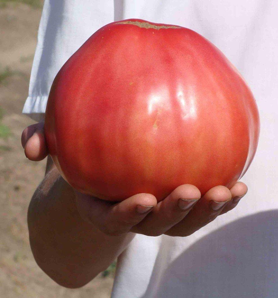 Как правильно собрать и сохранить семена помидоров 7