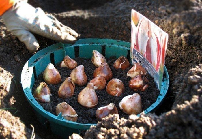 посадить тюльпаны осенью
