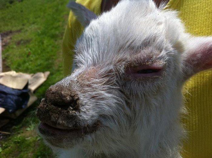 Суставные заболевания у коз чем лечить воспаление суставов стопы