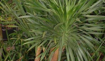 Фотография замульчированной пальмы, ucoz.ru